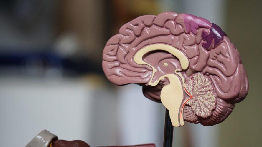 medical diagram of brain